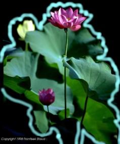 flor aura